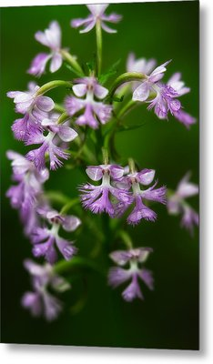 Purple Fringed Orchid Metal Print by Jeff Sinon