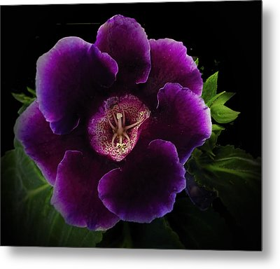 Purple Gloxinia   Metal Print by Judy  Johnson