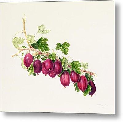 Purple Gooseberry Metal Print by William Hooker