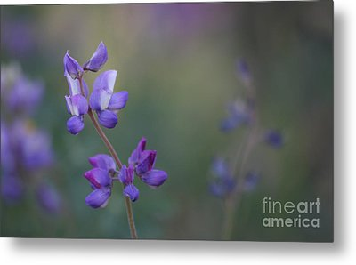 Purple Haze Metal Print by  Ruth Jolly