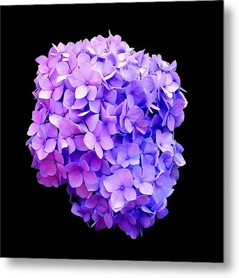 'purple Hydrangea Bloom'  Metal Print