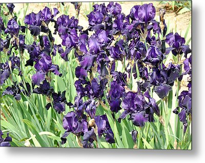 Metal Print featuring the photograph Purple Iris by Diane Lent