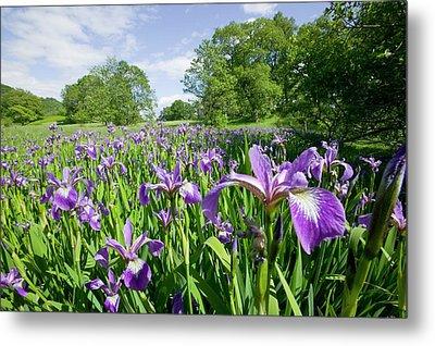 Purple Iris In The Trossachs Scotland Metal Print