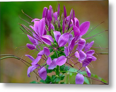 Metal Print featuring the photograph Purple Lilly by Jodi Terracina