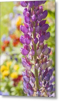 Purple Lupine Flowers Metal Print by Keith Webber Jr