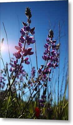 Metal Print featuring the photograph Purple Lupine by Richard Stephen