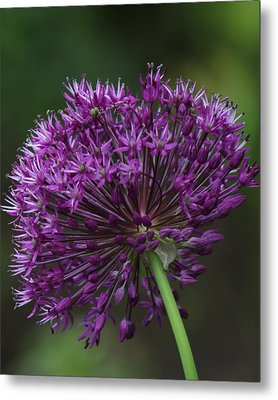 Metal Print featuring the photograph Purple Onion by Bill Woodstock