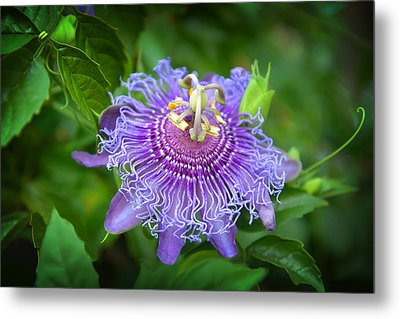 Purple Passion Flower Metal Print by Lynn Bauer