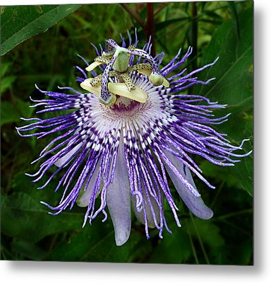 Metal Print featuring the photograph Purple Passionflower by William Tanneberger