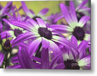 Purple Senetti Iv Metal Print by Cate Schafer