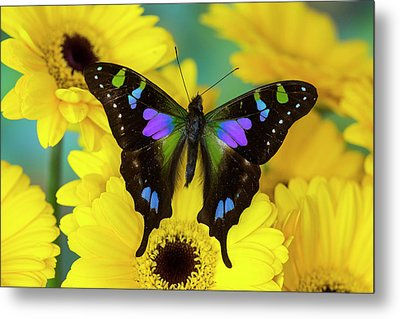 Purple Spotted Swallowtail Butterfly Metal Print