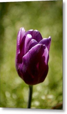 Purple Tulip Metal Print by Donna Stiffler