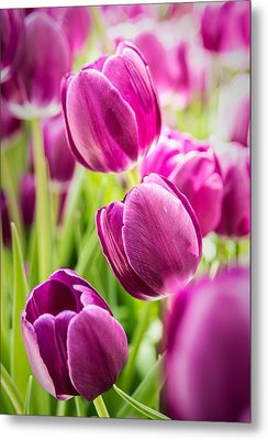 Purple Tulip Garden Metal Print