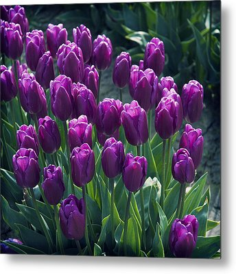 Purple Tulips Metal Print by Yulia Kazansky