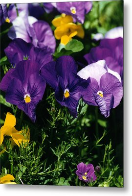 Purple Violas Metal Print