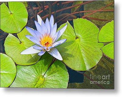 Purple Water Lily In Pond. Metal Print