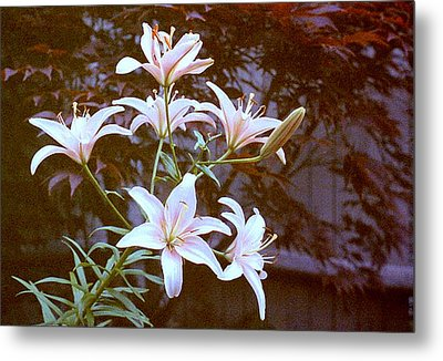Purple/white Lily Metal Print