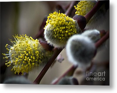 Pussy Willow 5 Metal Print by Joel Loftus