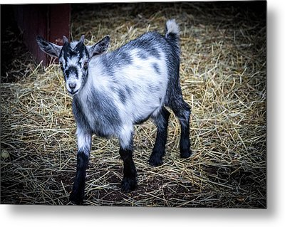 Pygmy Goat Metal Print by Anthony Thomas