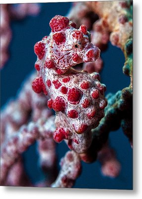 Pygmy Sea Horse Metal Print by Terry Cosgrave