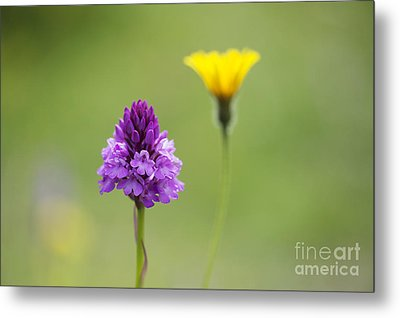 Pyramidal Orchid Metal Print by Tim Gainey