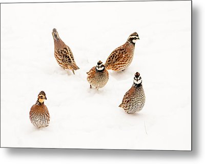 Quail Guard Duty Metal Print
