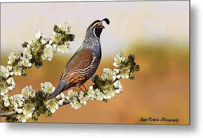 Quail In Cherry Tree Metal Print by Laird Roberts