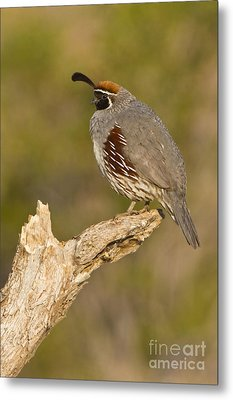 Metal Print featuring the photograph Quail On A Stick by Bryan Keil