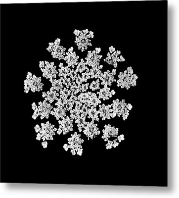 'queen Anne's Snowflake' Metal Print