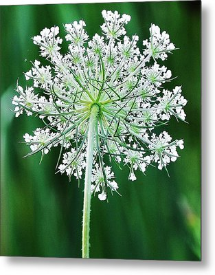 Metal Print featuring the photograph Queen Ann's Lace by Al Fritz