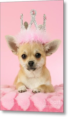 Queen Chihuahua Metal Print by Greg Cuddiford