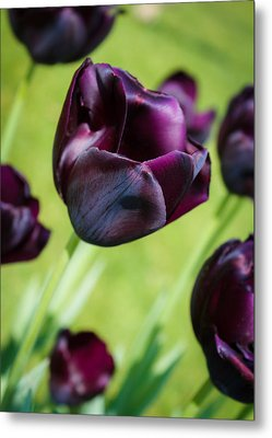 Queen Of The Night Black Tulips Metal Print
