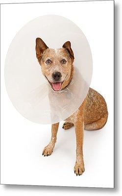 Queensland Heeler Dog Wearing A Cone Metal Print by Susan Schmitz