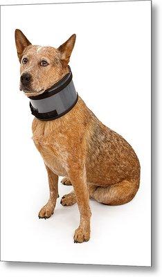 Queensland Heeler Dog Wearing A Neck Brace Metal Print by Susan Schmitz