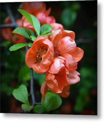 Quince Blossom Metal Print