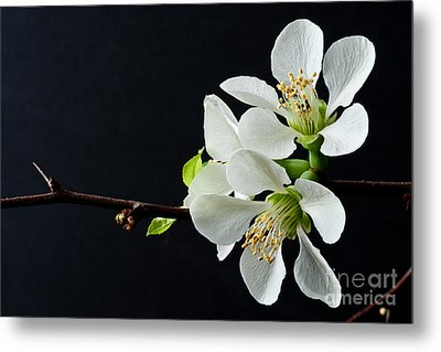 Quince Branch 2012 Metal Print by Art Barker