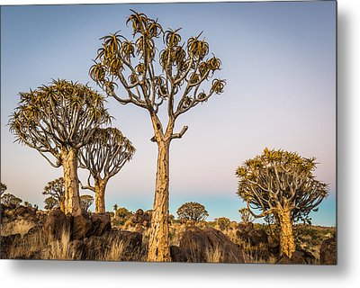 Quiver Tree Sunset - Namibia Africa Photograph Metal Print by Duane Miller