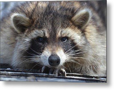 Raccoon -p Metal Print