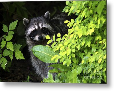 Raccoon Peek-a-boo Metal Print by Sharon Talson