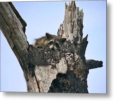 Raccoon Waiting. Lake Marion Creek W.m.a. Metal Print