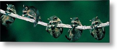 Raccoons Concept Alberta Canada Metal Print