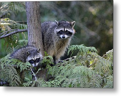 Raccoons In Stanley Park Metal Print by Maria Angelica Maira