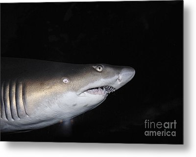 Ragged-toothed Shark In Aquarium Metal Print by Sami Sarkis