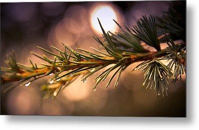 Rain Droplets On Pine Needles Metal Print by Loriental Photography