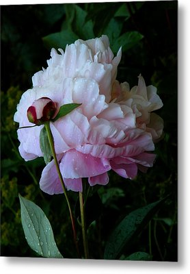 Rain-soaked Peonies Metal Print by Rona Black