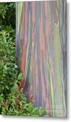 Metal Print featuring the photograph Rainbow Eucalyptus by Bryan Keil