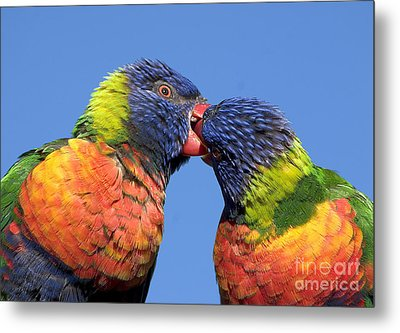 Rainbow Lorikeets Metal Print