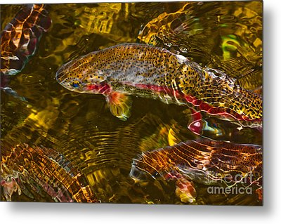 Rainbow Trout Metal Print by Cari Gesch