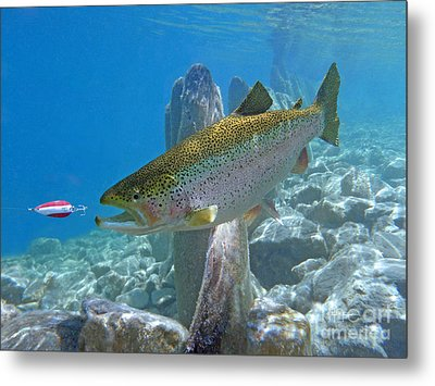 Rainbow Trout Pursuing Red And White Spoon Metal Print