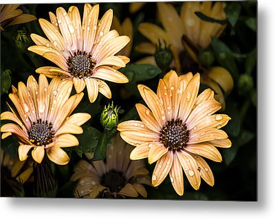 Metal Print featuring the digital art Raindrops On Gerbera Daisies by Photographic Art by Russel Ray Photos